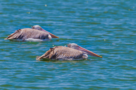 Couple of Spot-billed pelican Pelecanus philippensis floating on the water in nature at Laempukbia, Petchaburi,Thailand Stock Photo