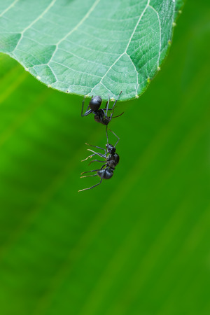 Black ant Iridomyrmex anceps Oecophylla smaragdina F help each other from falling down in nature Stock Photo