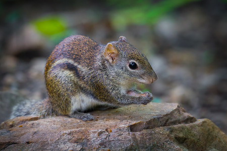 Close up of Asiatic striped squirrelStriped squirrel in nature at Kaengkracharn national park,Thailand