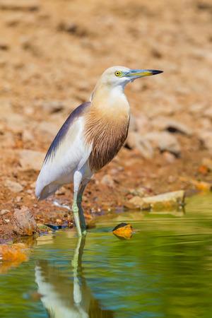 Close up of Javan Pond heron Ardeola speciosa  in nature at at Laempukbia, Petchaburi,Thailand Stock Photo