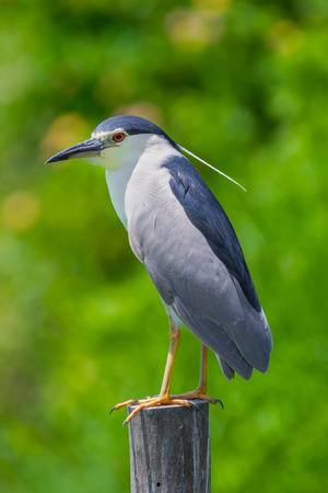 Portrait close up of Black-crowned Night-HeronNycticorax nycticorax stair at us in nature at Laempukbia, Petchaburi,Thailand