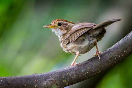 Puff-throated Babbler  on the branch in nature at Kaengkracharn national park,Thailand