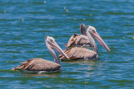Spot-billed pelican Pelecanus philippensis  in nature at Laempukbia, Petchaburi,Thailand