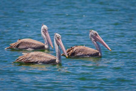 pelecanus: Three of Spot-billed pelican Pelecanus philippensis floating on the water in nature at Laempukbia, Petchaburi,Thailand Stock Photo