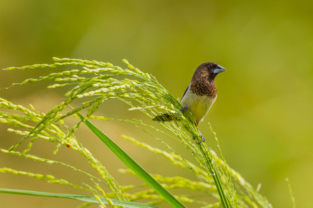 White-rumped Munia Lonchura striata catching on the rice seed in nature in Thailand