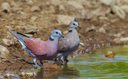 turtle dove: Couple of Red Collared DoveStreptopelia tranquebarica  in nature in Thailand
