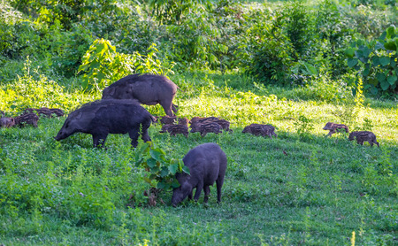 Family of Wild boarSus scrofa with her lovely cubs mate playing in foreground in nature at Hui Kha Khaeng wildlife sanctuary ,Thailand Stock Photo