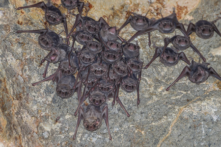 dark cave: Big group of Long-winged Tomb BatTaphozous longimanus in nature in very dark cave at Khaoyoi , Petchaburi,Thailand