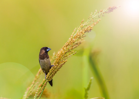 White-rumped Munia Lonchura striata catching on the weed flower in nature in Thailand