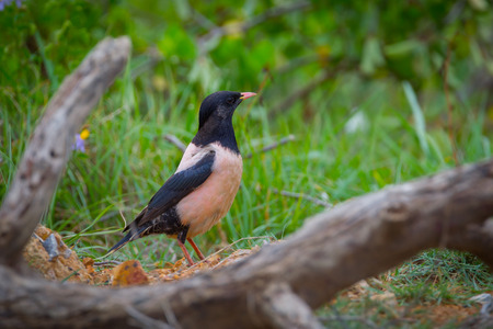 Rare Rosy Starling Pastor roseus standing between the wood in nature at Lampukbia ,Petchaburi,Thailand Stock Photo