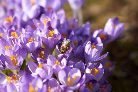 Bee on purple Crocuses in the morning Banco de Imagens