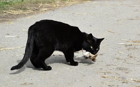 snatch: Black cat carries a caught bird