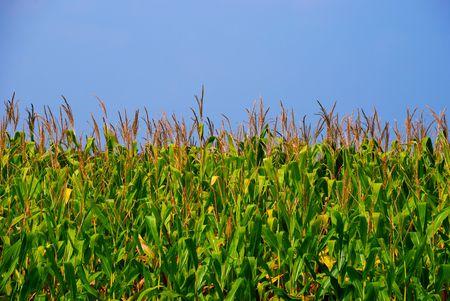 Campo de maíz Foto de archivo - 3514404