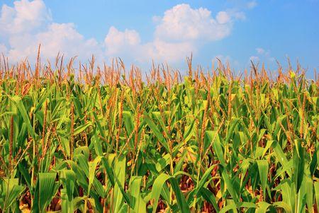 Campo de maíz Foto de archivo - 3514403