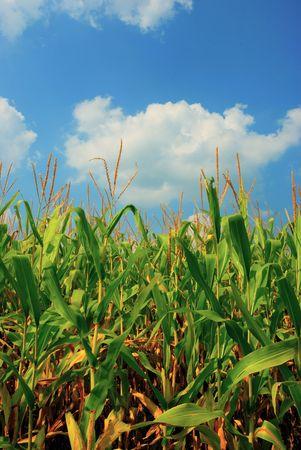 Campo de maíz Foto de archivo - 3514398