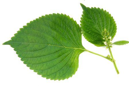 wild sesame leaves Stock Photo