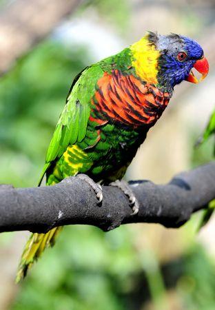 psittacidae: parrot Stock Photo