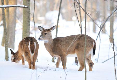 ciervos en las monta�as nevadas