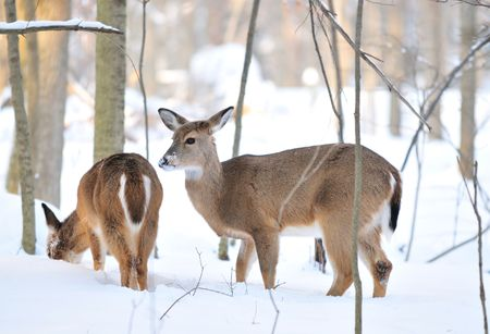 white tail deer: deers in the snowy mountain