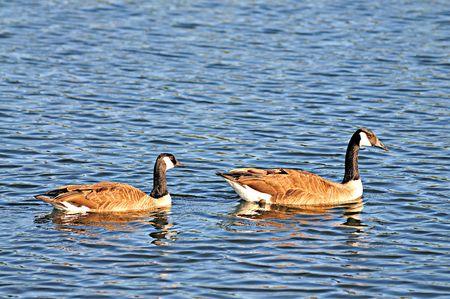 geese photo