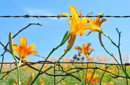 yellow lily Reklamní fotografie