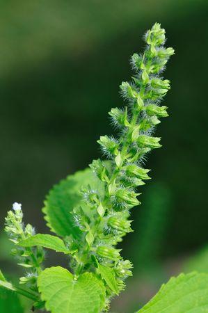 wild sesame seed flower Stock Photo