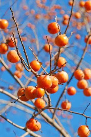persimmon tree: persimmon Stock Photo