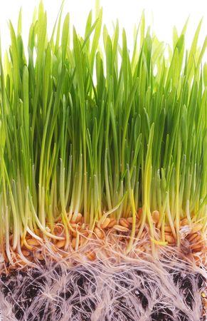 wheat seedling Stock Photo - 6293054