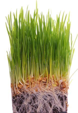 wheat seedling Stock Photo - 6293051