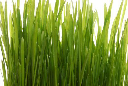 wheat seedling photo