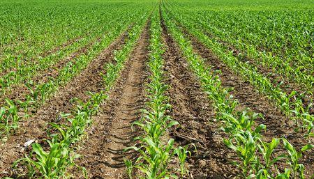 corn field Stock Photo - 7077820
