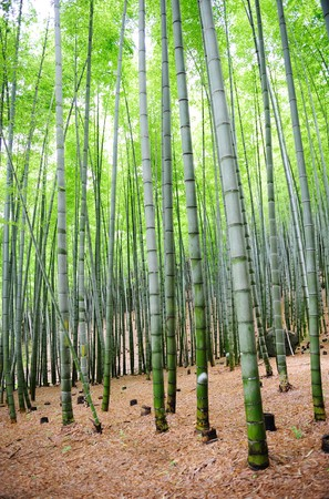 bamboo trees Standard-Bild