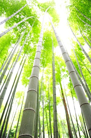 bamboo trees photo