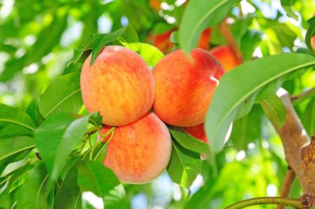 the peach: peaches