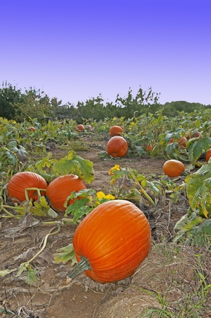 pumpkins in the field photo