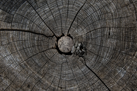 annual ring annual ring: annual ring wood