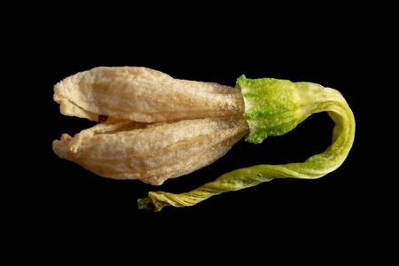 Closeup of a dried hot pepper flower. Isolated image on a black background. Macro photo. 版權商用圖片