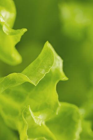 Salad leaf. Fresh green lettuce leave close-up. Macro photo.