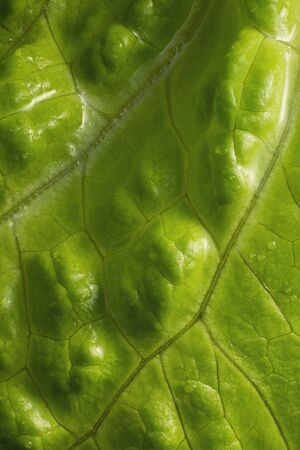 Salad leaf. Fresh green lettuce leave close-up