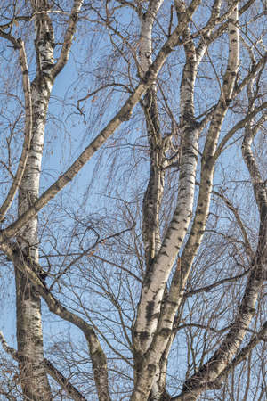 Birch trees without leaves in winter on a background of blue sky. Sunny winter day.