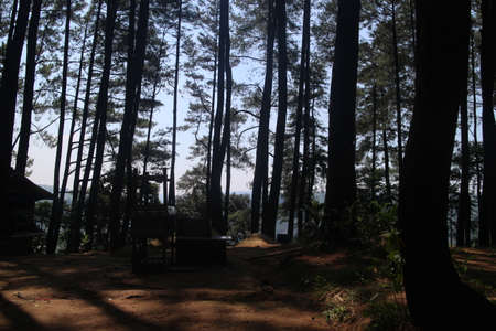 scenery in the pine forest