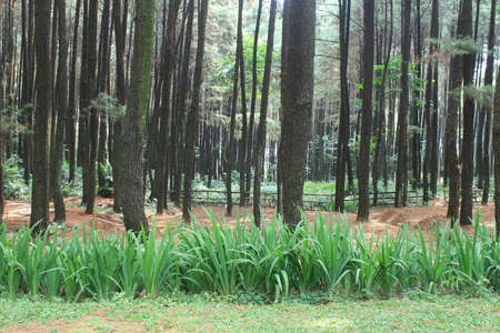 the beauty of nature in a pine forest
