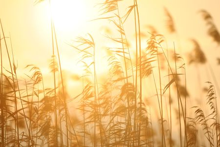 yello: sun behind tall grasses