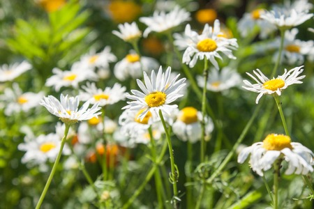daisy: Chamomile close-up on a background of green meadows