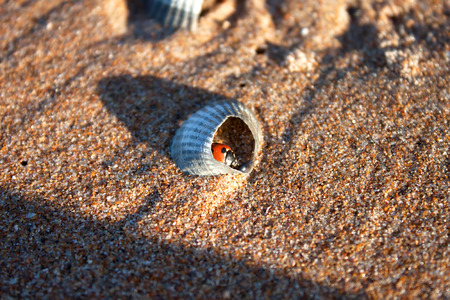 septempunctata: Ladybug in a broken shell in the sand