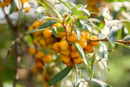 argousier: The sea-buckthorn berries on the branch