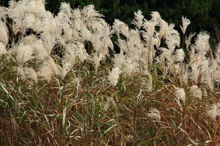 maiden: Graziella Maiden Grass (miscanthus sinensis) in autumn
