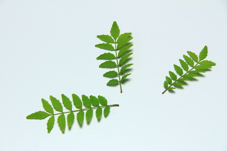 Leaves of Szechuan pepper, Decoration, for synthesis Stock Photo