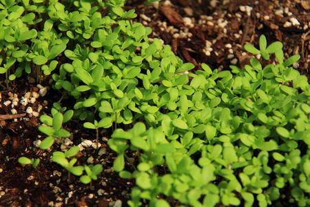 coronarium: Sprouted and green glebionis coronaria vegetable garden