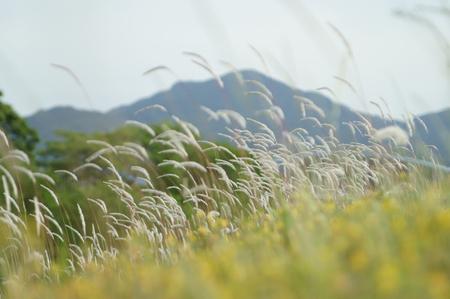 夕日の美しい foxtails 草フィールド